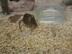 Anglų lietuvių žodynas. Žodis mouses reiškia pelės lietuviškai.
