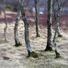 Manesty Birches (Adam Clutterbuck) Tags: landscape lakes lakedistrict cumbria greengage adamclutterbuck showinrecentset