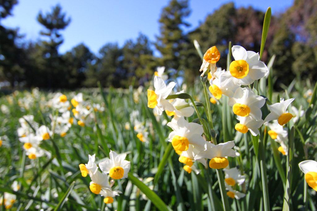 Kasai Rinkai Park Narcissus Festival (8)