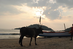 Cow taking a stroll on Goa beach (amazing_tina) Tags: sunset sea water beautiful boat interesting sand different scenic lifeguard palolembeach indiancow cowwalking cowstrolling cowbech