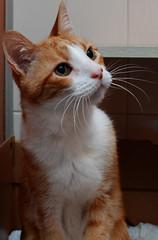 Benjamin's Whiskers (Spenser.Cat) Tags: cute cat s gato spca  katzen gatti katz sfspca gati 2011 mo friendsofzeusphoebe