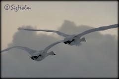 lftirar fljga  - Cygnus cygnus (Sig Holm) Tags: bird birds island iceland islandia swan january swans fugl sland islande icelandic islanda cygnuscygnus 2011 seltjarnarnes ijsland fuglar svanir svanur islanti  janar lft    slenskt lftir