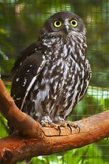 Barking Owl (Leighton Wallis) Tags: newcastle wildlife australia nsw owl ninoxconnivens blackbuttreserve newlambton
