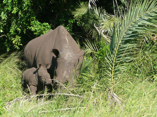 Rhinos in Cape Vidal