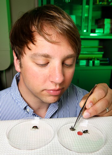 ARS entomologist Christopher Ranger observes healthy (left petri dish) and paralyzed (right petri dish) Japanese beetles after the beetles on the right consumed extracts isolated from geranium flowers.  ARS Photo.