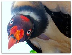 wild king vulture          Rey zamuro (ingridgottyoutube .(On and Off *`*) Tags: trip naturaleza holiday flores nature birds animals fauna season amazing plantas venezuela images ave pajaro imagenes belleza ingridgott colibirs mygearandme