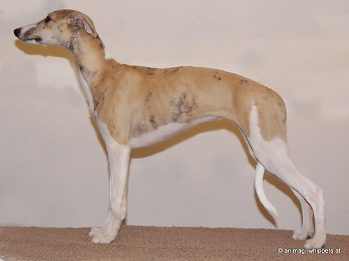 Animagi Bewitched Cheetah (Micra) 19 weeks old