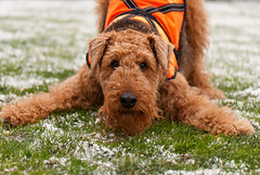Ready, Steady... GO!!! (metadata man) Tags: dog snow keegan airedaleterrier clickcamera friendsofzeusphoebe puppybow