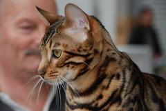 Chat à pelage tigre