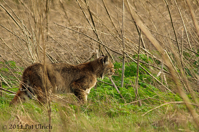 Focused bobcat - Pat Ulrich Wildlife Photography