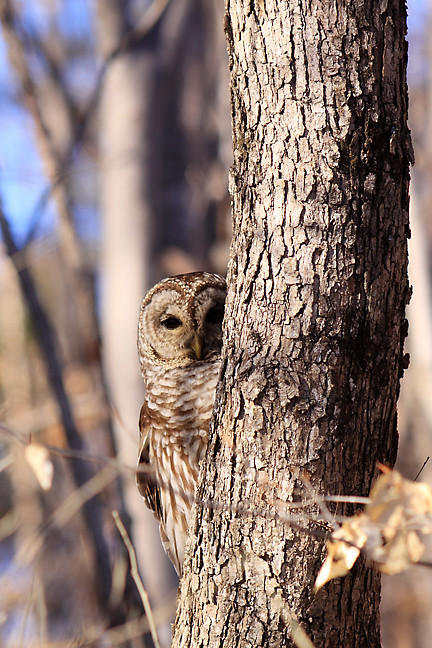 barred owl, lilly, peeks around tree trunk