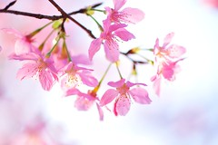(Jennifer ) Tags: sakura