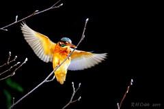 Female Kingfisher landing (Russ Cribb) Tags: winter bird mill nature wildlife flight kingfisher feb 2011 swineford russcribb