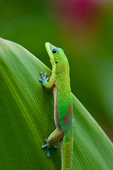 Attention (konaboy) Tags: red green smile closeup garden leaf glamour critter gecko madagascar spiderlily 8607
