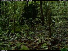Grey-winged Trumpeter (siwild) Tags: largebirds greywingedtrumpeter psophiacrepitans taxonomy:common=greywingedtrumpeter file:name=img0078jpg sequence:index=4 sequence:length=7 siwild:study=peruocelotsurvey siwild:studyId=arabelasets siwild:plot=arabela geo:locality=northernperu taxonomy:group=largebirds siwild:location=peruloca siwild:camDeploy=perudeploy1 sequence:key=3 siwild:region=peru siwild:trigger=perubirdstaff4656 sequence:id=perubirdstaff4656 BR:batch=sla1220110304035457 taxonomy:species=psophiacrepitans siwild:date=200804220721000 siwild:imageid=16133 file:path=epuntoa42151peru38img0078jpg siwild:species=318 BR:QCID=5493117543