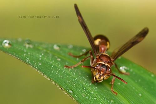 Vespidae [ Paper Wasp ]