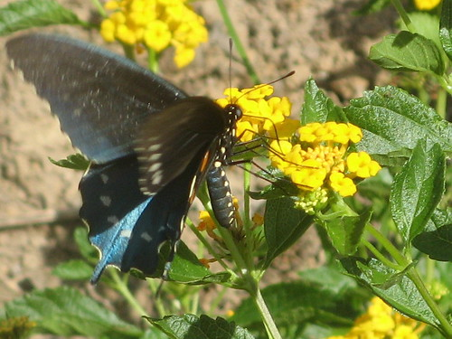 Pipevine Swallowtail on Lantana