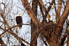 Bald Eagles, Surrey Lake Park, Surrey BC (PhotoDG) Tags: park canada bird nature bc nest eagle britishcolumbia birding baldeagle bald raptor birdofprey 猛禽 鷹 ef100400mmf4556lisusm surreylakepark surreylake eos5dmarkii 白頭海鵰 白頭鷹 禿頭鷹