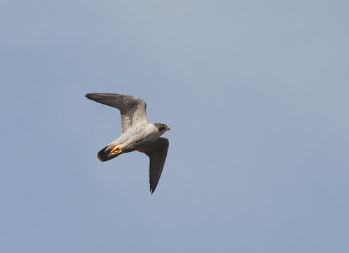 peregrine falcon diving. Peregrine Falcon over Exeter