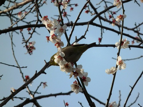 Ume and white eye by yupius