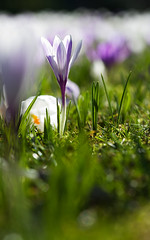 The Edge of Crocuses (Corkneyfonz) Tags: white spring bokeh sheffield crocus botanicalgardens southyorkshire selectivefocussing caanonef100mmf28macro