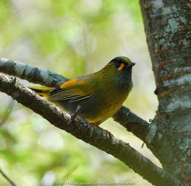 黃胸藪眉 (藪鳥)