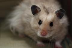 Lisa Hamster (Rosemarie.s.w) Tags: macro cute face closeup fur eyes furry natural hamster untouched unedited furryfriends unprocessed furryfriend 2011 straightoutofthecamera straightfromthecamera sootc sooc 11macro uneditedimage