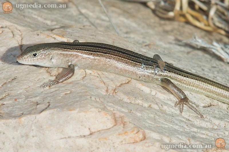 Rock ctenotus (Ctenotus saxatilis)