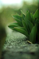 Transformation (BeautifulRust) Tags: green texture garden spring tulips growth cinderblock shadowhouse coffeeshoppseactions