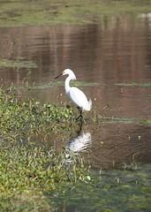 Snowy Egret in the Marsh (groecar) Tags: bird feathers egret snowyegret egrets greategrets ardeaalba whitebirds carolgroenen carolgroenenbirds funfeathers