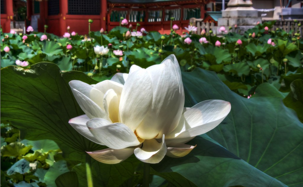 A Beautiful white lotus, and also a zen tale. What more could you ask for??
