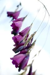 PinkBellyFlowers (iwishmynamewasmarsha) Tags: newzealand flower beach otago moerakiboulders koekohebeach