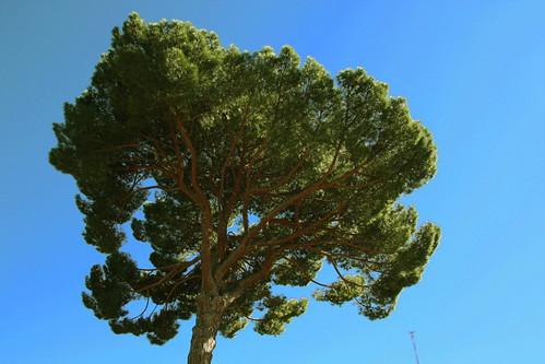 el árbol más grande de la dehesa