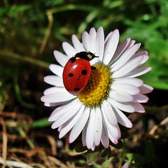 primavera -coccinelle- (archifra -francesco de vincenzi-) Tags: italy verde primavera nature colore sony fiore rosso margherita coccinelle gmt molise isernia coccinella dedicatedphoto 21marzo infiorescenza colorphotoaward flickraward beautifulmonsters archifraisernia absolutelyperrrfect coth5 francescodevincenzi carlzeisslensesgroup