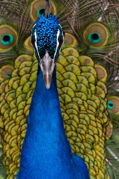 031811_peacock08