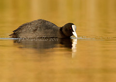 Focha sobre dorado (jesue92) Tags: lago agua aves amanecer pico calma dorado plumas acuatica anatida fochacomún