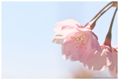 Sakura 110328 #01