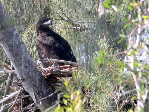 Eaglet PP8 settled down 20110330