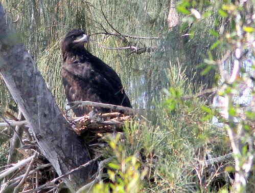 Eaglet PP8 settled down 20110330