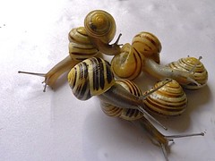 Snail Playtime (Big G1948) Tags: evolution snails cepaeahortensis