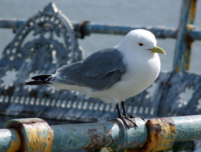 24105 - Kittiwake on Mumbles Pier