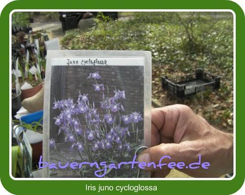 Iris juno cycloglossa