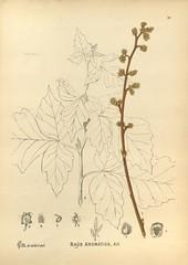 Anglų lietuvių žodynas. Žodis rhus aromatica reiškia mezokarpo aromatica lietuviškai.