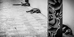 Siesta en las calles de Santo Domingo (pepoexpress - A few million thanks!) Tags: nikon nikond600 nikon24120 nikond60024120mmf4 24120f4 d600 d60024120 d60024120f4 pepoexpress perros santodomingo repblicadominicana street streetphotography urban bw