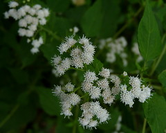 White Snakeroot (Dendroica cerulea) Tags: whitesnakeroot ageratinaaltissima ageratina eupatorieae asteraceae asterales flower white plant garden autumn highlandpark middlesexcounty nj newjersey