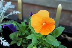 Apricot Orange Winter Pansy (@oakhamuk) Tags: apricot orange winter pansy martinbrookes