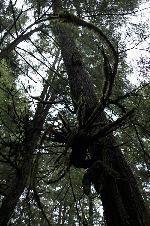 tree forms, Kasaan, Alaska