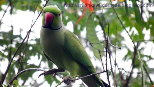 Rose-ringed Parakeet/Psittacula krameri/රැන ගිරවා