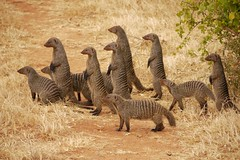 Banded Mongooses - Mangusty prgowane (radimersky) Tags: africa park family cute lumix action kenya flock east panasonic safari telephoto national mm herd kenia tsavo mongoose mungo rodzina banded vario stado mungos gf1 mangusta mongooses narodowy afryka 45200 mangusty prgowana teleobiektyw