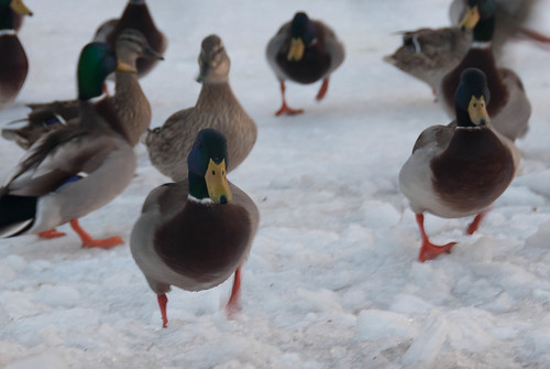 20110204-FrozenBirds-08-8-2.jpg